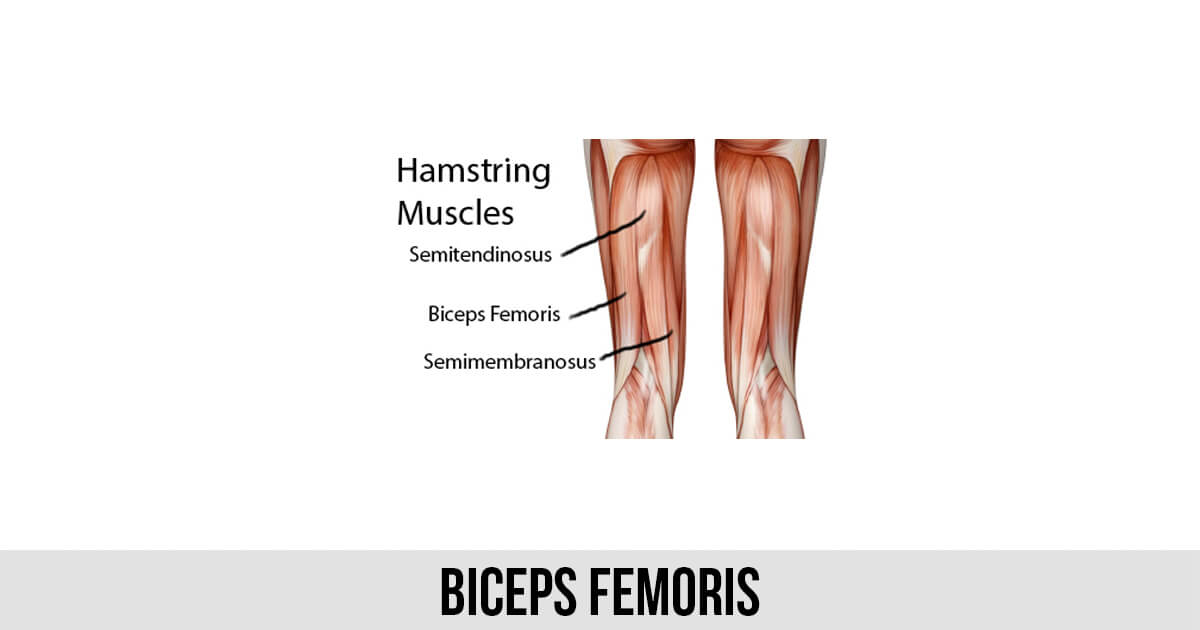 Biceps Femoris