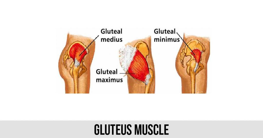 Gluteus Muscle