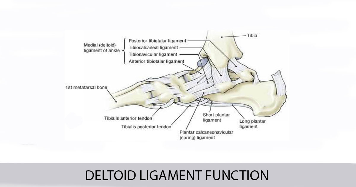 DELTOID LIGAMENT FUNCTION