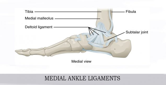 MEDIAL ANKLE LIGAMENTS INFO