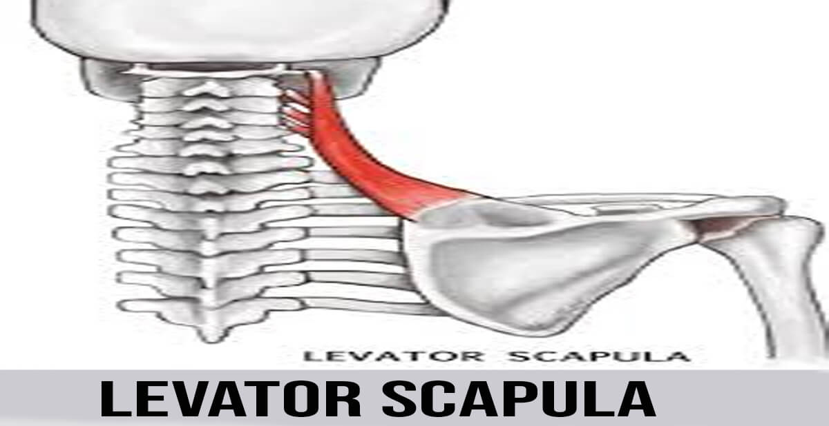 levator scapula muscle