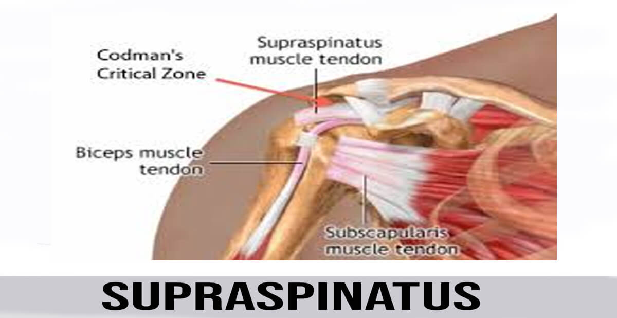 supraspinatus muscle details