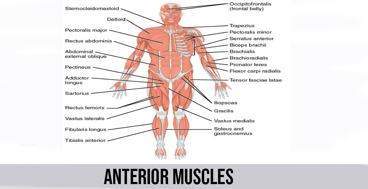 Anterior Muscles Details