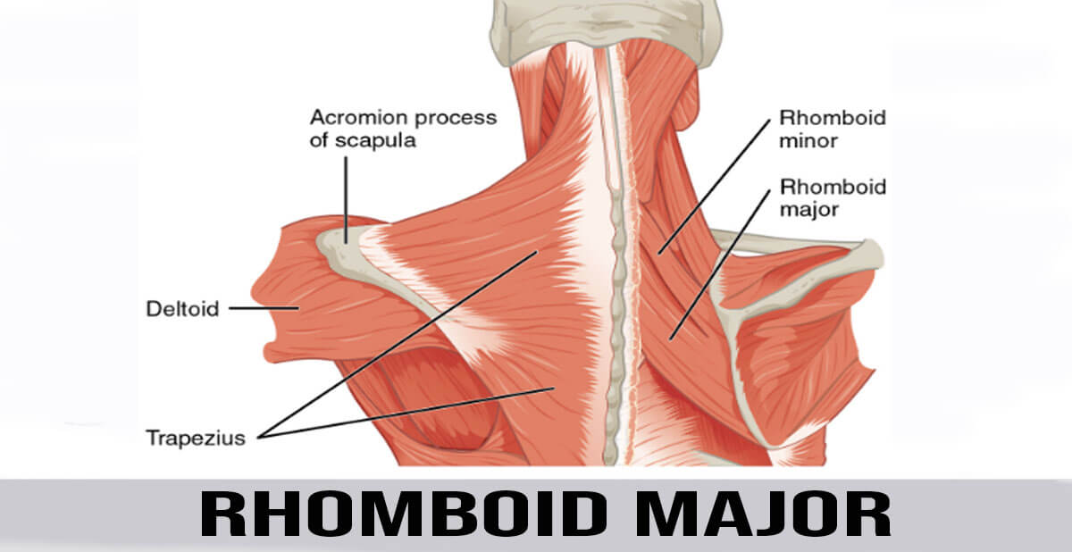 rhomboid major